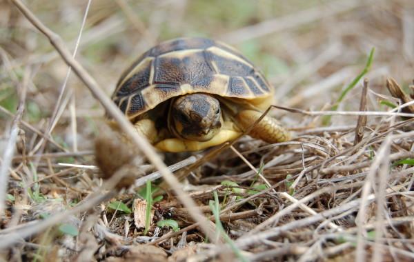Griechische Landschildkröte / Sardinien
