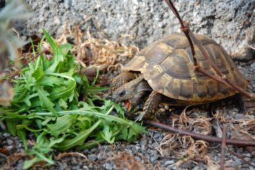 Was fressen Schildkröten? Ernährung von Landschildkröten