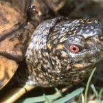 Riesen-Dosenschildkröte – Terrapene carolina major