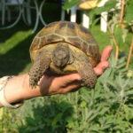 Vierzehenschildkröte Testudo horsfieldii