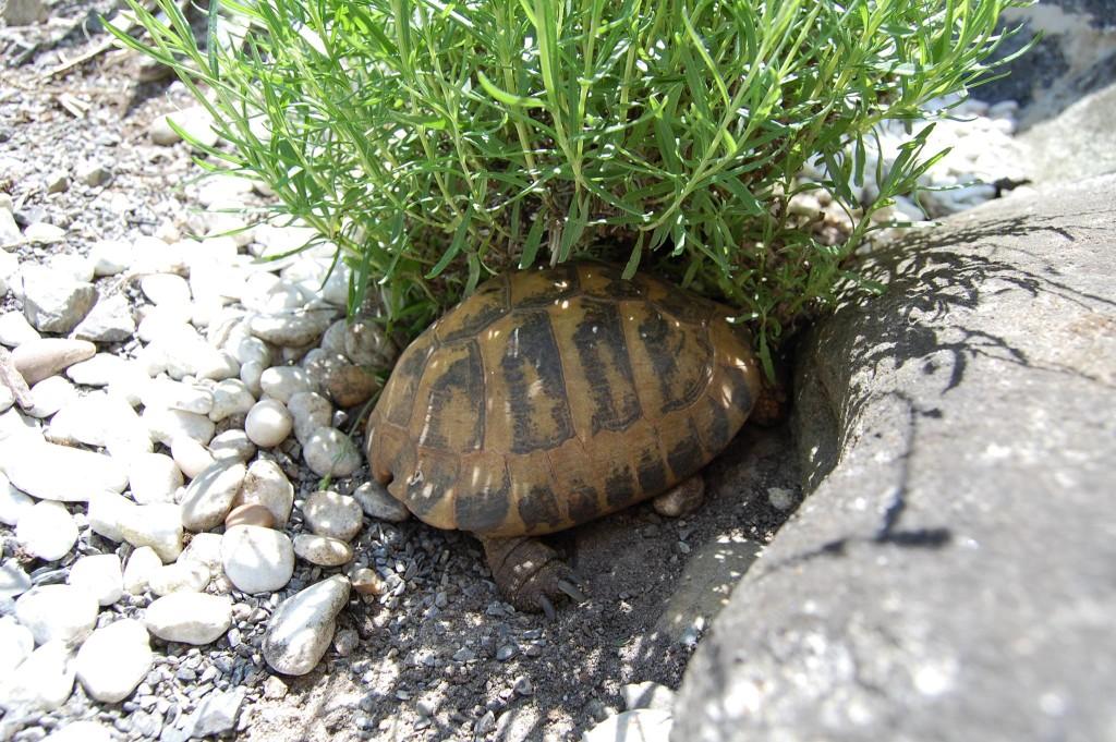 Griechische Landschildkröte im Schatten