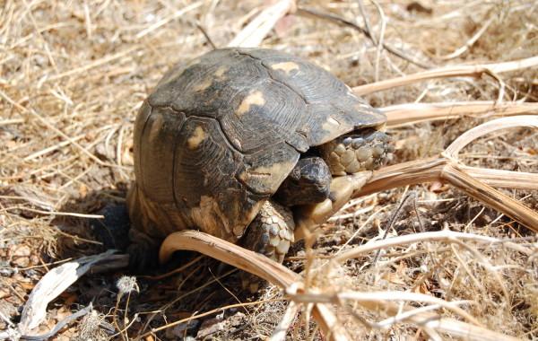 Breitrandschildkröte auf Sardinien