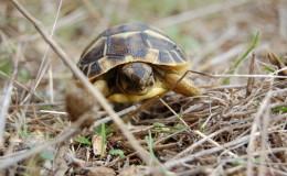Griechische Landschildkröte auf Sardinien