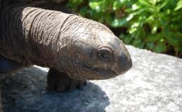 La Digue Seychellen Schildkroeten-005