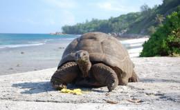 La Digue Seychellen Schildkroeten-034