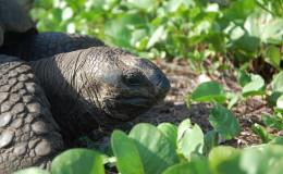 La Digue Seychellen Schildkroeten-041