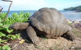 La Digue Seychellen Schildkroeten-049