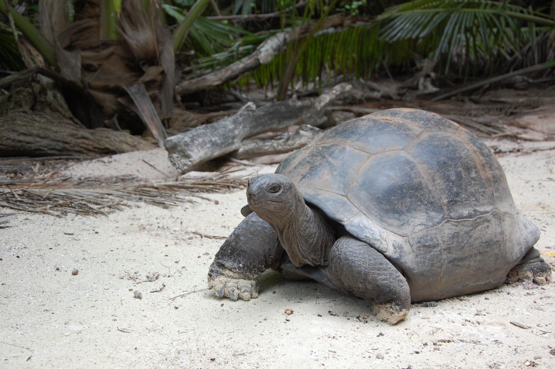 Riesenschildkröten Seychellen
