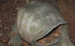 Seychellen-Moyenne-005-leerer-Schildkroetenpanzer