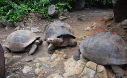 Seychellen-Moyenne-017-Seychellen-Riesenschildkröten