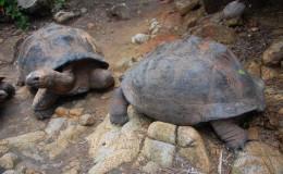 Seychellen-Moyenne-018-Aldabra-Riesenschildkröten