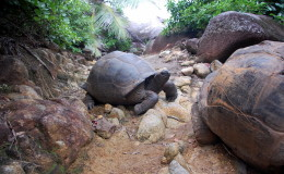 Seychellen-Moyenne-020-Aldabrachelys gigantea