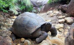 Seychellen-Moyenne-021-Seychellen-Riesenschildkröte