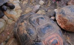 Seychellen-Moyenne-022-Panzerverletzung bei Riesenschildkröte durch Kokosnüsse