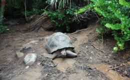 Seychellen-Moyenne-023-Seychellen-Riesenschildkröte vor ihrem Versteck