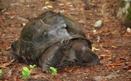 Seychellen-Moyenne-044-Seychellen-Riesenschildkröte
