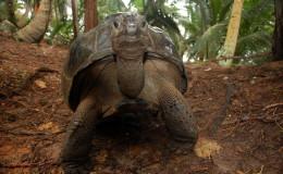 Seychellen-Moyenne-045-Schildkröte auf Moyenne