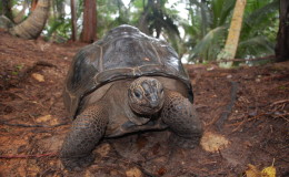 Seychellen-Moyenne-047-Riesenschildkröte
