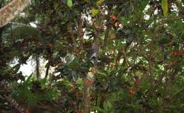 Seychellen-Moyenne-050-Madagaskarweber und Madagaskartauben