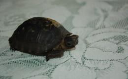 Seychellen-Moyenne-072-Nachzucht einer Seychellen-Riesenschildkröte auf Moyenne