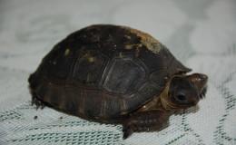Seychellen-Moyenne-074-Aldabra-Riesenschildkröte-Baby