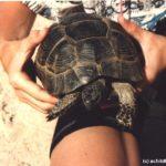 Der natürliche Lebensraum von Testudo graeca (Maurische Landschildkröte) auf der Insel Kos