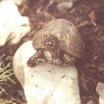 Dreizehen-Dosenschildkröte - Terrapene carolina triunguis