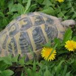 Einzelhaltung - Sollte man Landschildkröten einzeln oder zu zweit halten?