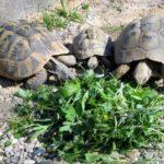 Fütterung bei den Griechischen Landschildkröten