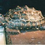 Köhlerschildkröte - Geochelone carbonaria