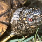 Riesen-Dosenschildkröte - Terrapene carolina major