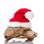 Landschildkröte zu Weihnachten geschenkt bekommen