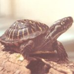 Schmuck-Dosenschildkröte – Terrapene ornata ornata