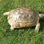 Maurische Landschildkröte – Testudo graeca