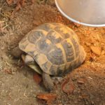 Eiablage und Gelege von Landschildkröten