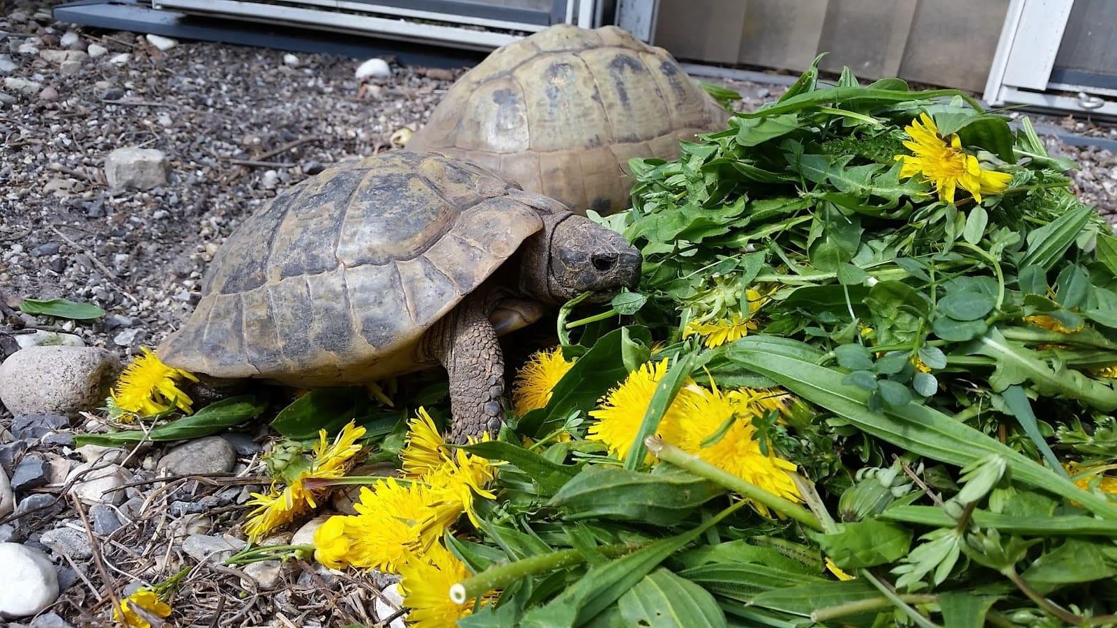 Mini Kühlschrank Für Schildkröten : ▷ was fressen griechische landschildkröten landschildkroeten