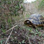 In freier Natur überleben Schildkröten auch ohne Frühbeet und Beleuchtung