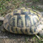 Griechische Landschildkröte – Testudo hermanni