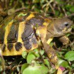 Griechische Landschildkröten NZ 2017 in Stuttgart zu verkaufen