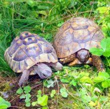 Maurische und Griechische Landschildkröten in ihrem Gehege