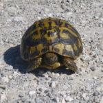 90 Griechische Landschildkröten (Testudo hermanni hermanni) auf Mallorca ausgewildert