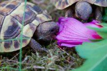 Griechische Landschildkröte Luna und Lilo im Freigehege