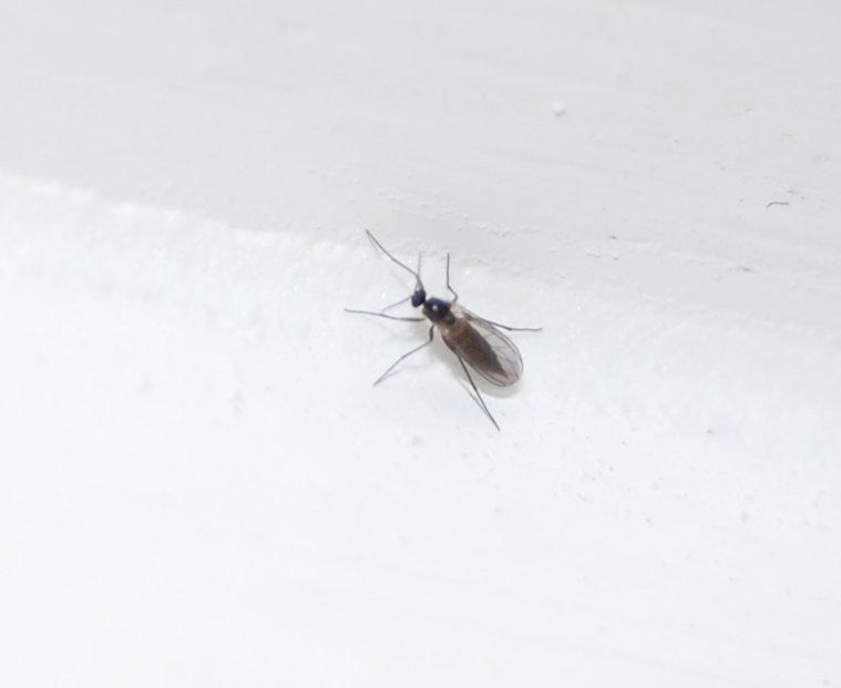 Fliegen zimmer winzige im Winzige Insekten?