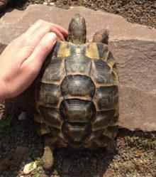 Nele, die Schildkröte