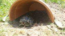 Wicky Griechische Landschildkröte