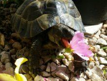 Rocky, der Maurische mit Lieblingsspeise