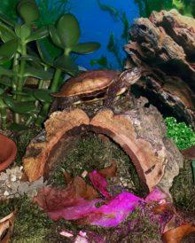 Unsere Zackenerdschildkröte hält nach Futter ausschau