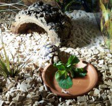 Speedy, unsere junge Ägyptische Landschildkröte beim Fressen