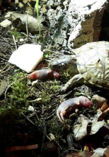 Chip unsere Dosenschildkröte frisst gern Babymäuse