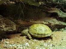 Bee Russische Steppenschildkröte bei ihrem Nickerchen